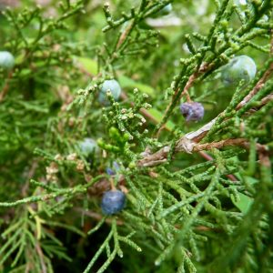 "This image shows juniper leaves and bluish ""berries"", which in fact are not berries at all, but mature ovulate cones."