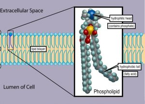 "A diagrammatic representation of a lipid bilayer separating the extracellular space from the interior of the cell. One of the molecular subunits of the bilayer is shown in magnified view. This molecule is a phospholipid. The molecule has a phosphate-containing hydrophilic head and two hydrophobic fatty acid ""tails"". The tails make the hydrophobic portion of the molecule about as wide as the hydrophilic portion."