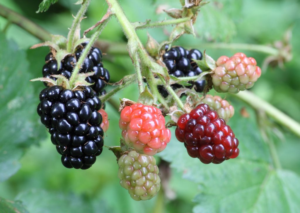 This image shows a cluster of blackberries in various stages of ripeness — some are dark purple and ripe; others are light green and unripe. The berries are all hanging from the vine and are surrounded by leaves.