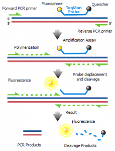 "This diagram illustrates the use of TaqMan probes in real-time PCR. Initially, the probe, containing a reporter (""fluorophore"") and a quencher, is bound to a strand of DNA. As the strand of DNA is copied, the reporter breaks away from the quencher, and light from the reporter becomes detectable. Eventually, the whole probe falls off the DNA as copying proceeds."